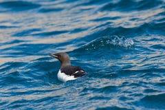 Portreta dopłynięcie wystawiał rachunek murre Uria ptasiego lomvia, błękitny wa Zdjęcie Royalty Free