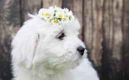 Portreta dziecka psa Bawełny De Tulear szczeniak dla zwierzęcych pojęć Zdjęcia Royalty Free