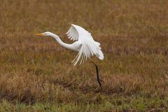 Portreta egret egretta wielcy biali albumy w płosze, rozszerzanie się uskrzydlają Obrazy Stock