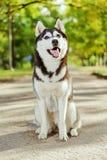 Portreta husky pies z uśmiechem Zdjęcie Royalty Free
