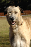 portreta irlandzki wolfhound Obrazy Stock