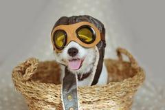 PORTRETA JACK RUSSELL ŚLICZNY pies JEST UBRANYM lotników KAPELUSZOWYCH gogle WŚRODKU ŁOZINOWEGO kosza LUB pilota PRZECIW SZAREMU  zdjęcie royalty free