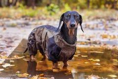 Portreta jamnika śliczny psi traken ubierający w deszczowiec pozycji w kałuży, czarny i dębny, chłodno jesieni pogoda dla spaceru zdjęcie stock