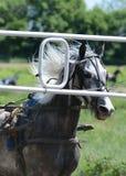 Portreta kłusaka szary koński traken maszyna i fotografia royalty free