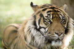 portreta kierowniczy męski tygrys Obraz Stock