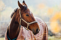 Portreta koń Obrazy Royalty Free