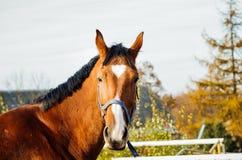 Portreta koń Zdjęcia Royalty Free