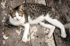 Portreta kota dopatrywania przybłąkana kamera na drewnianej podłoga Zdjęcie Stock