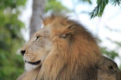 Portreta królewiątko dżungla w profilu Obraz Royalty Free