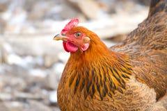 Portreta kurczak fotografia stock