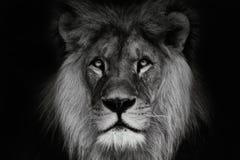 Portreta lew z czarny i biały colour obrazy stock