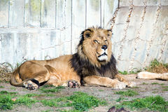 Portreta lwa odpoczywać (Panthera Leo) Fotografia Royalty Free