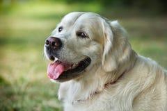 Portreta młody piękna pies Zdjęcia Royalty Free