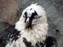 orła portreta morze Zdjęcia Royalty Free