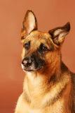 portreta niemiecki shepard Zdjęcie Stock