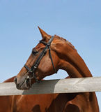 Portreta piękny cisawy koń Zdjęcie Royalty Free