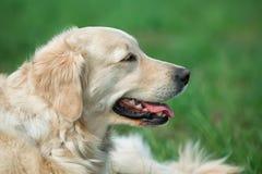 Portreta piękna młody pies Zdjęcia Royalty Free