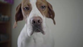 Portreta pointeru smutny pies z brązów punktami patrzeje w kamerze Uroczy pies z miłym hazelnut przygląda się oblizanie himself zbiory wideo