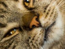 Portreta portret śliczny puszysty przyglądający się szarobrunatny zadawalający kot zdjęcia royalty free