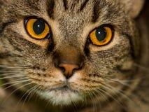 Portreta portret śliczny puszysty przyglądający się szarobrunatny zadawalający kot zdjęcie stock