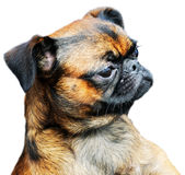 portreta psi mops Zdjęcie Stock