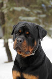 portreta rottweiler zdjęcie royalty free