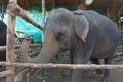 Portreta słoń Obraz Stock