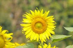 Portreta słonecznik Fotografia Stock