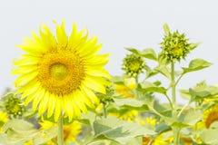 Portreta słonecznik Zdjęcie Stock