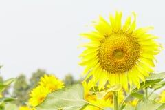 Portreta słonecznik Obraz Stock