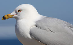 portreta seagull Fotografia Stock