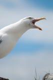 portreta seagull obrazy stock