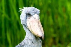 Portreta shoebill bocian Obrazy Royalty Free