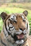 portreta tygrys Zdjęcia Stock