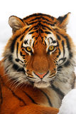 portreta tygrys Zdjęcie Stock