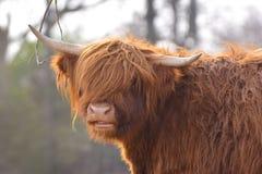 Portreta widok piękna Szkocka Górska bydło krowa z ciemnego brązu futerkiem i rogami długimi i scraggy zdjęcia royalty free