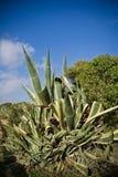 Portreta widok tłustoszowatej rośliny kaktusowy aloes wzrasta up w niebieskim niebie, Algarve, Portugal Zdjęcie Stock