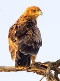 Portreta widok Tawny Eagle nieletni umieszcza na gałąź w Kgalagadi Transfrontier rezerwie Obraz Stock
