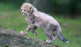 Portreta widoku geparda lisiątko 04 Zdjęcie Royalty Free