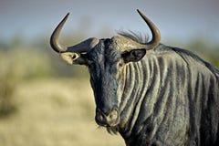 portreta wildebeest Fotografia Stock
