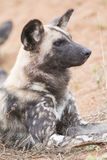 Portretfoto van Afrikaanse wilde hond Stock Foto