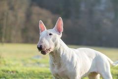 Portretfoto van wit bull terrier in openlucht op een zonnige dag stock foto