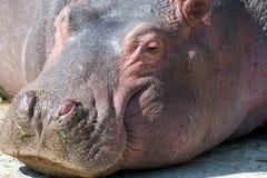 Portretowość hipopotam ma odpoczynek zdjęcia royalty free