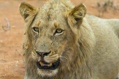 Portretowość młody męski lew w Kruger parku narodowym, południe Af Fotografia Royalty Free