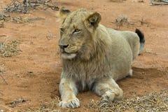 Portretowość młody męski lew w Kruger parku narodowym, południe Af Obraz Stock