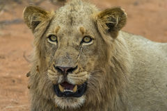 Portretowość młody męski lew w Kruger parku narodowym, południe Af Fotografia Stock
