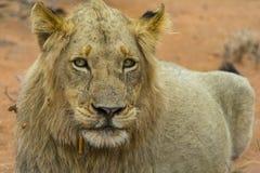 Portretowość młody męski lew w Kruger parku narodowym, południe Af Zdjęcie Stock