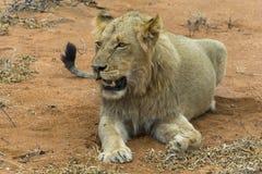 Portretowość młody męski lew w Kruger parku narodowym, południe Af Zdjęcia Royalty Free