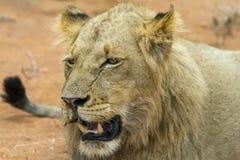 Portretowość młody męski lew w Kruger parku narodowym, południe Af Zdjęcia Stock