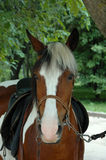 Portretpaard Royalty-vrije Stock Afbeelding
